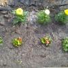 Sadzimy kwiatki na wiosnę
